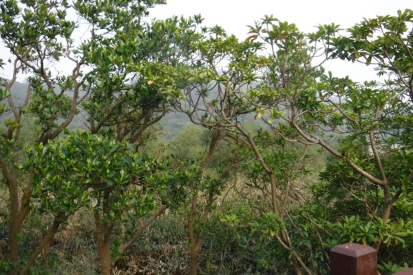 The early life of little mangroves